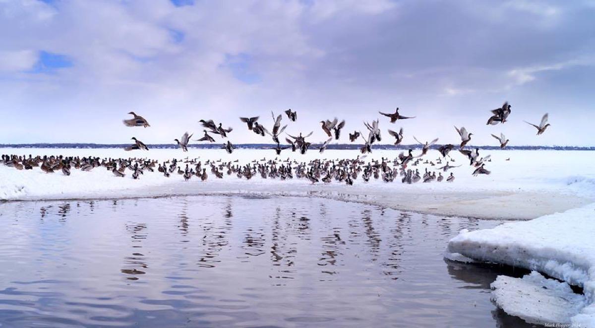 Ducks Bay of Quinte Mark Hopper