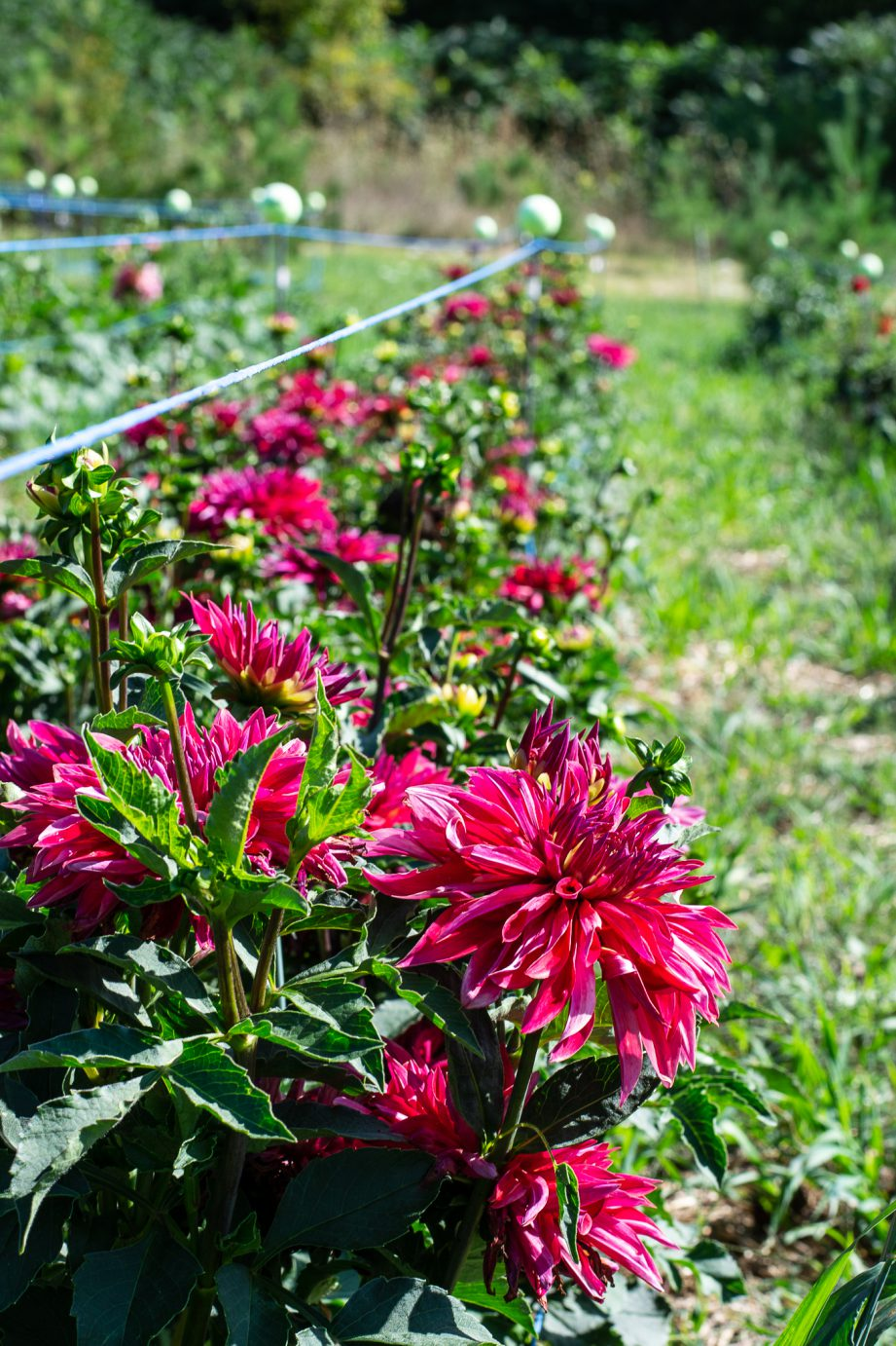 Pink flowers grown in a row at Dahlia May Flower Farm.