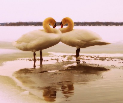 Swans in the Bay of Quinte