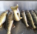 bay of quinte summer walleye