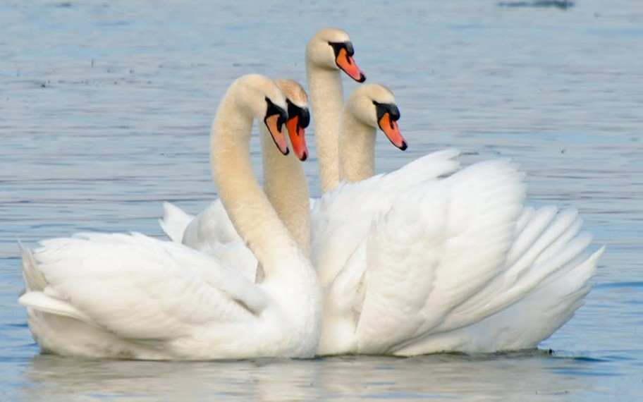Mute-Swan_Barry-Kant1