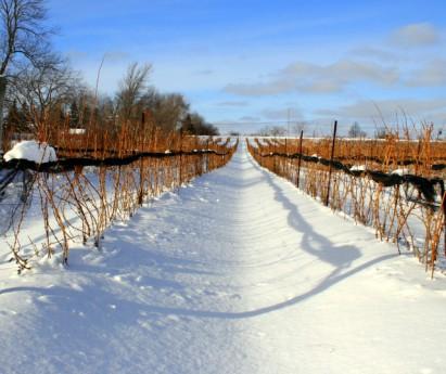 Prince_Edward_County_Vineyard_Wine1