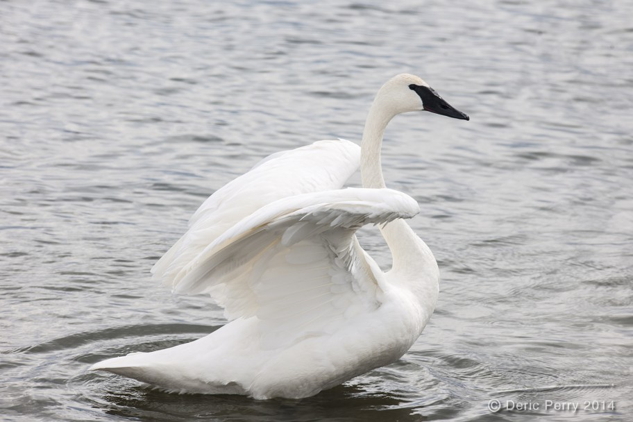 Trumpeter-Swan_DericPerry-1