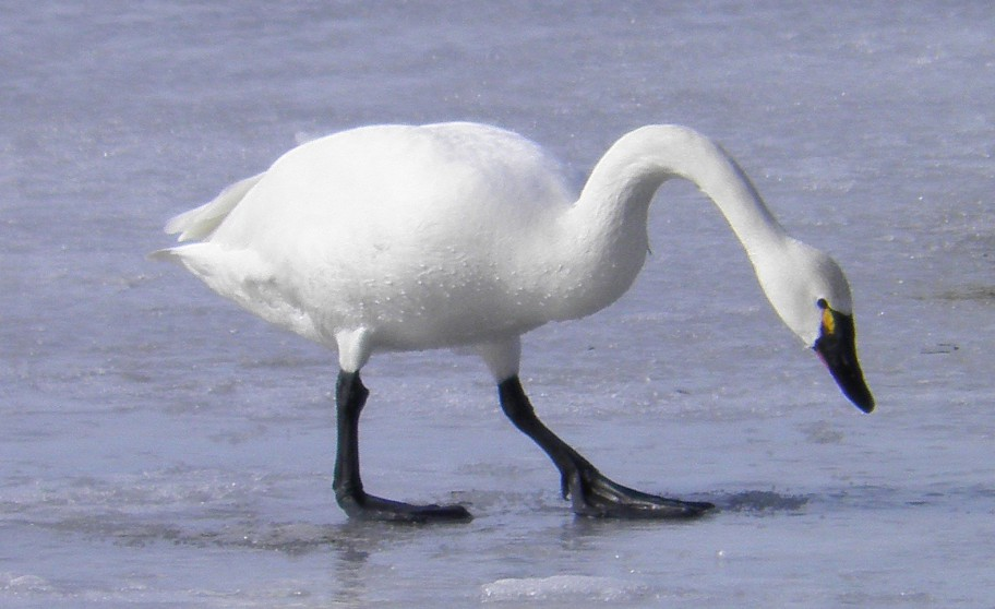 Tundra-Swan_Stephen-Poole