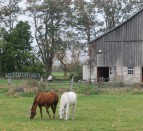 horses in Stirling Ontario