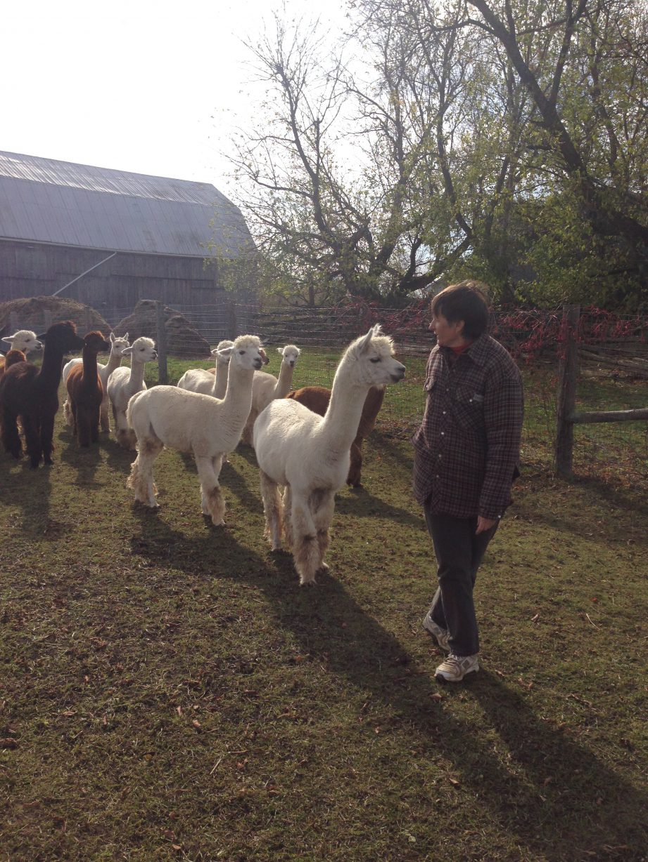 alpaca_-_marj_in_field