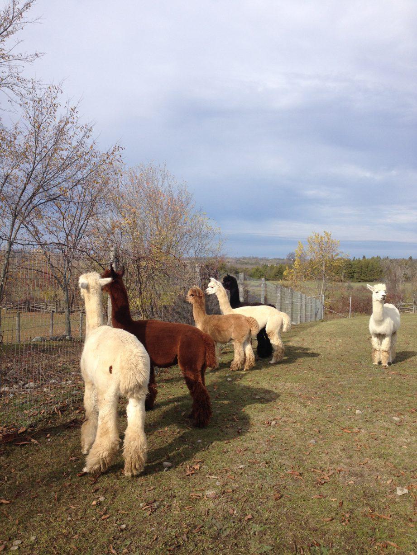 alpacas_in_a_row