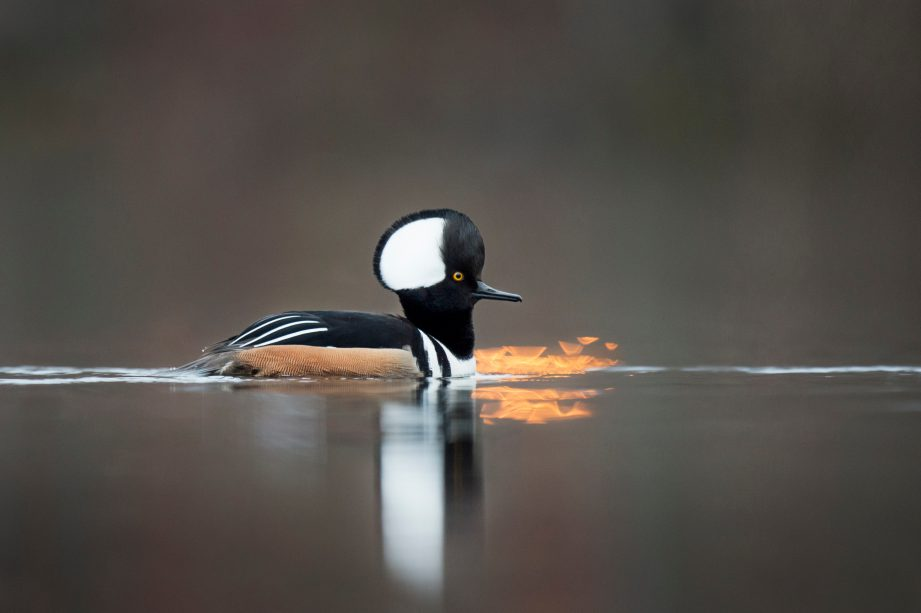 Black, white and brown hooded merganser swimming in the water.