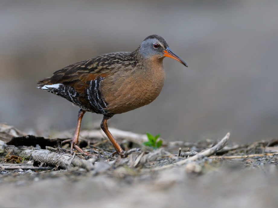 A Virginia Rail searching for a meal on wooded land