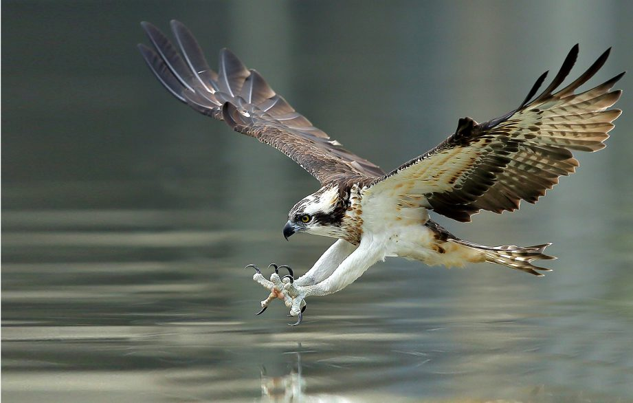 An Osprey with legs stretch landing on the water to catch dinner.