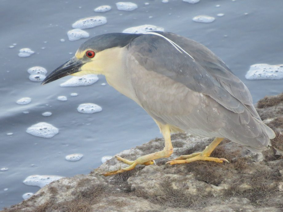 A picture of a black crowned night heron on the edge of shore staring into the water below.