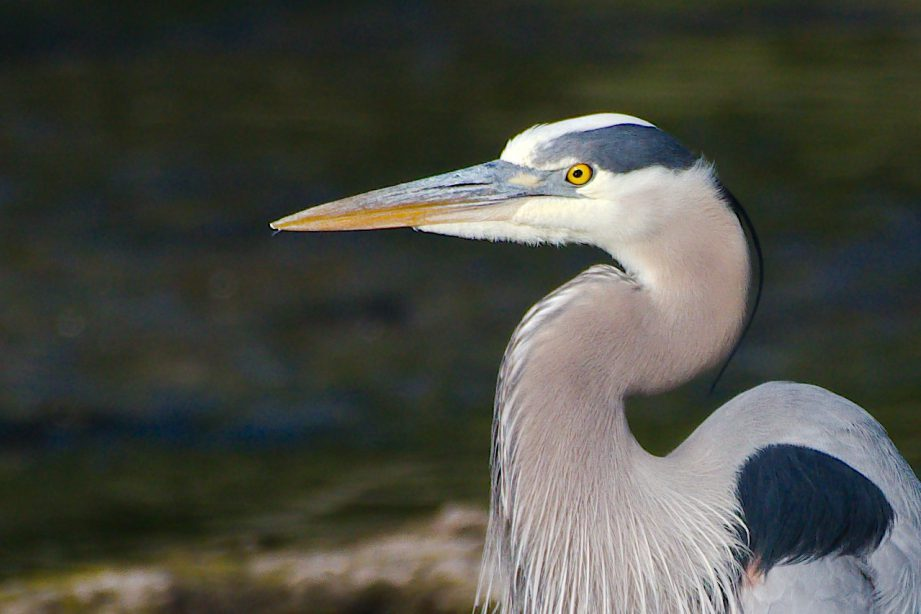 A picture of a Great Blue Heron side profile with crooked neck and yellow eyed stare.