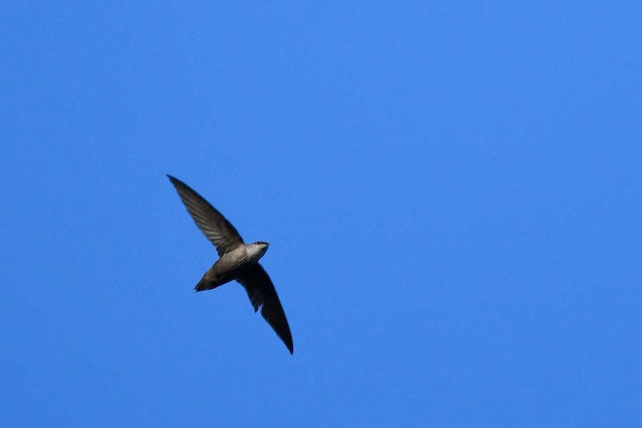 A picture of a chimney swift in flight from underneath with a bright blue sky background