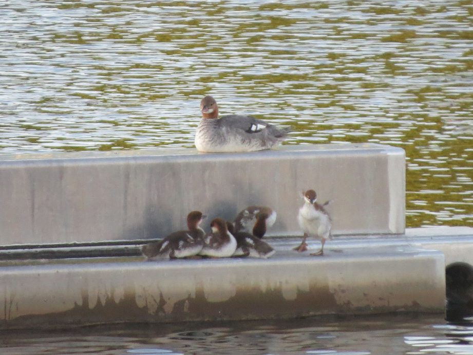 A picture of a family of Common Mergansers on a cement platform in the river. Mom up top with five ducklings below.