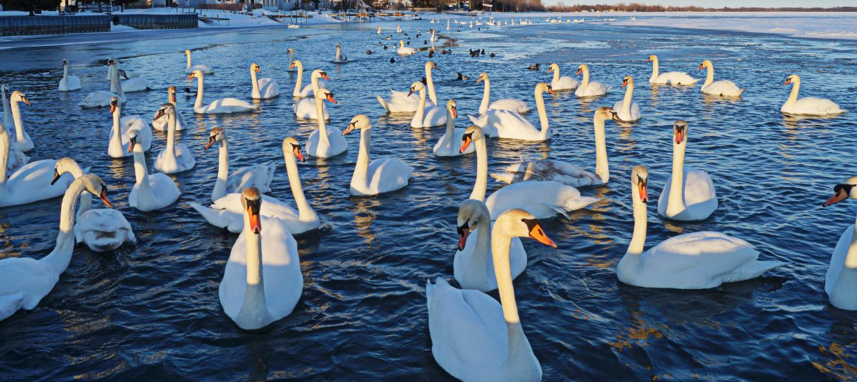 Mark Hopper Belleville Photographer Swans