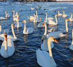 Mark Hopper Belleville Photographer Swans
