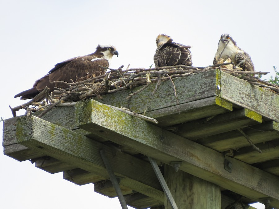 A picture of a family of Osprey resting on the nesting platform.