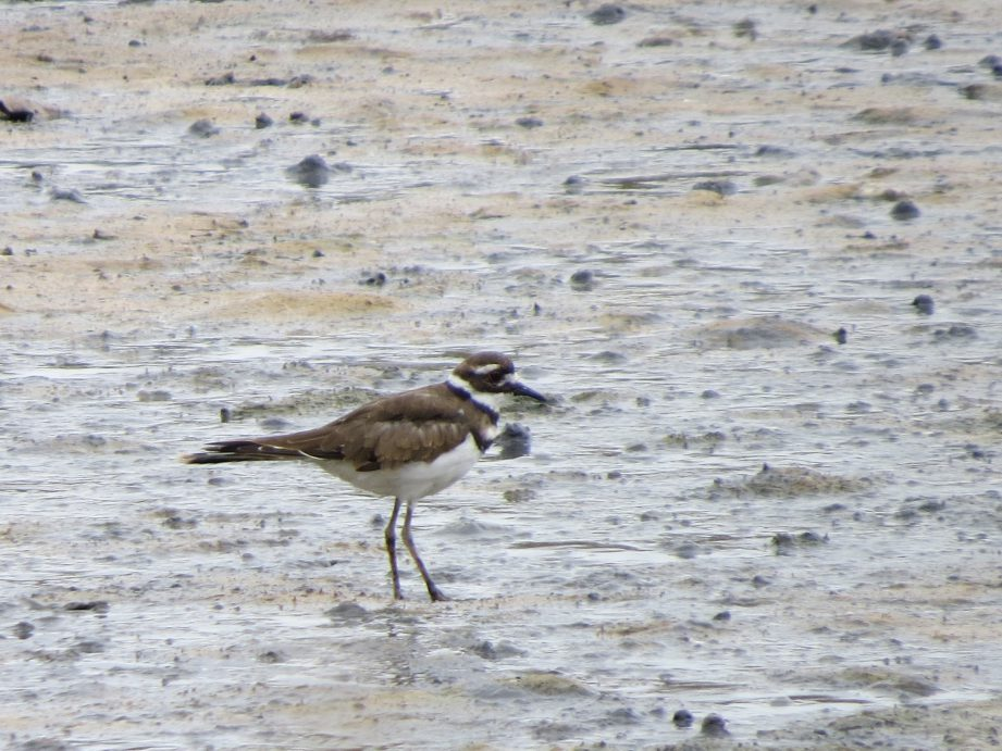 A picture of a killdeer bird with brown and white feathers and tall stick like legs, standing in the mud.