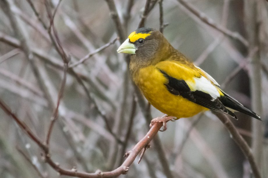 A photo of a yellow evening grosbeak perched sideways on bare tree branches.