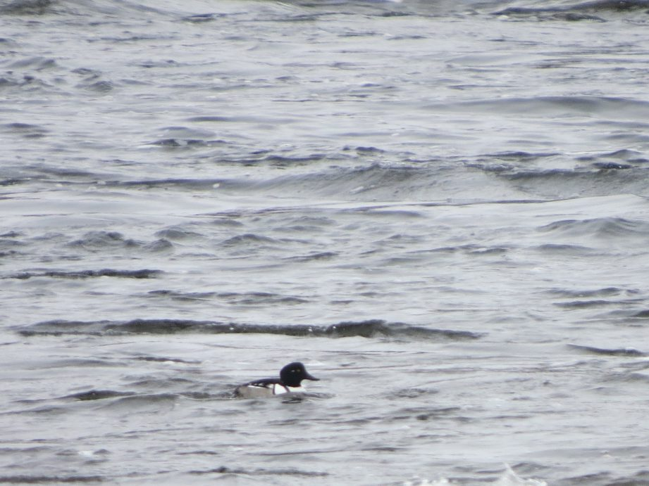 Photograph of the rare hybrid duck between the hooded merganser and the common goldeneye surrounded by water.