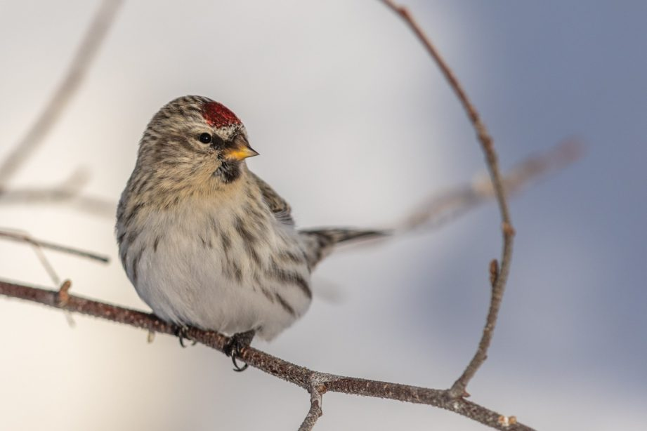 A photo of a fun sized Redpoll perched on a bare branch.