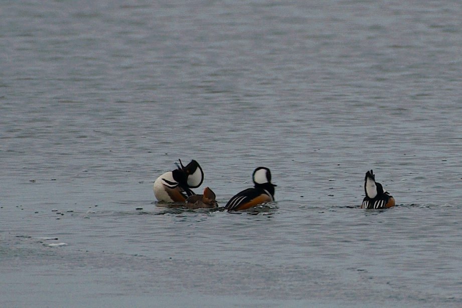 A photograph of a group of hooded mergansers in the water.