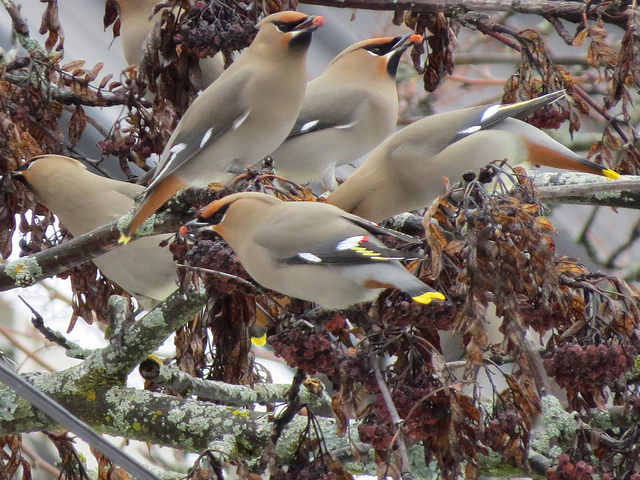 A photo fo the group of Bohemian Waxwings all perched together eating red berries.