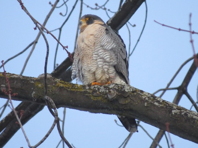 peregrine falcon birds of prey bay of quinte