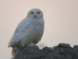snowy owl birds of prey bay of quinte