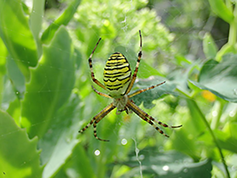 A picture of a banded garden spider in the centre of its web with green leaves in the background.