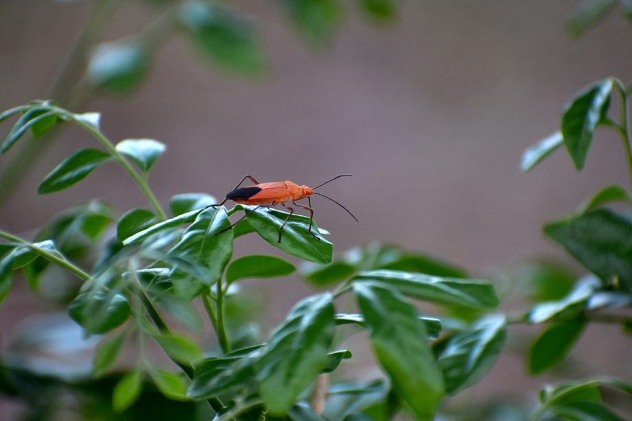 A picture of a red and black boxelder bug on green leaves.