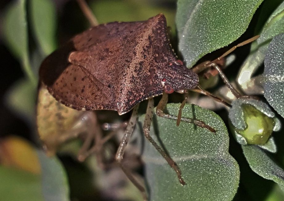 Picture of a brown beetle on some green leaves.