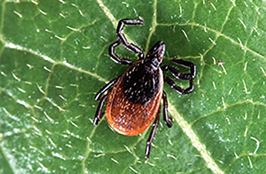 A picture of a deer tick on a green leaf.