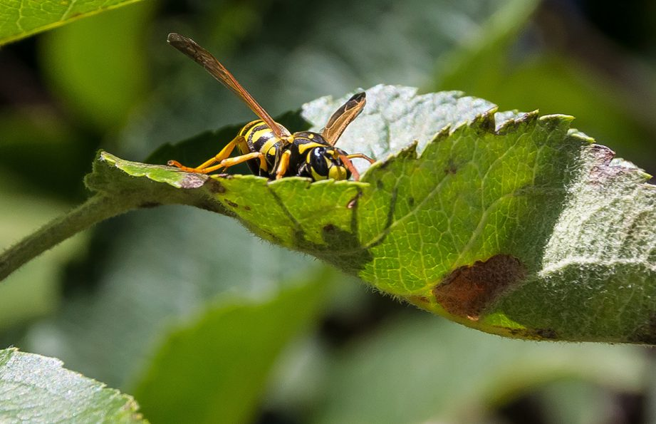 A picture of a giant yellow and black hornet sitting on a large green leaf.