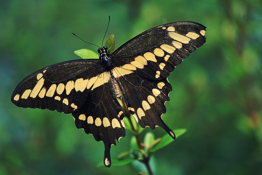 A picture of a giant swallowtail butterfly sitting on a leafy branch.