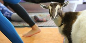 hello boss girl goat yoga