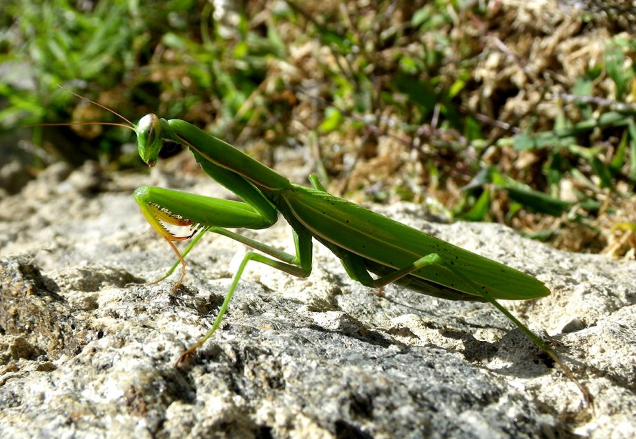 A picture of a green praying mantis on a rocky ground.
