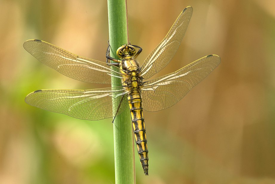 A picture of a yellow and black dragonfly sitting on the stem of a plant.