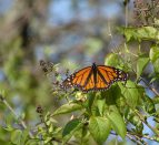 Monarch butterfly found during the Insect Safari at Presqu'ile Provincial Park.