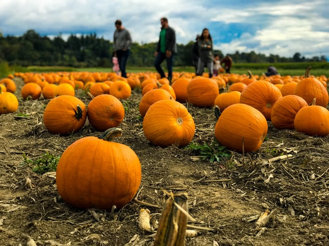 A pumpkin patch with people in the background. Heading out to a local pumpkin patch is a great activity with the kids to do this fall in Bay of Quinte!