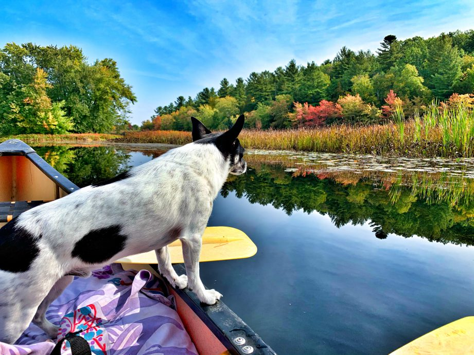 A dog in a canoe on a river. Find out what it's like heading out for a fall paddling adventure on the Might Moira River north of Belleville!